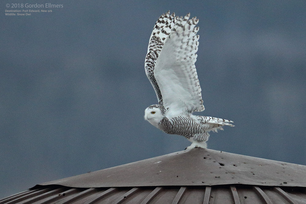 TODAY'S GREATEST THREATS TO SNOWY OWL SURVIVAL INCLUDE COLLISIONS WITH VEHICLES & CLIMATE CHANGE. IMAGE: ©GORDON ELLMERS