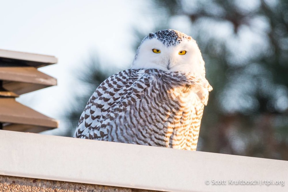 ACCIDENTALLY FLUSHING A SNOWY OWL FORCES THEM TO USE CRUCIAL ENERGY NECESSARY TO SATY WARM AND HUNT. IMAGE: SCOTT KRUITBOSCH THANKS TO  THE RTPI