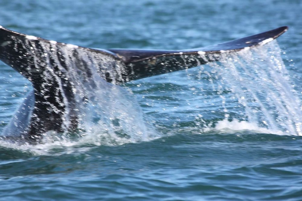 GREY WHALES PLAY AROUND AND EVEN UNDER THE SMALL PANGA BOATS, BUT THERE HAS NEVER BEEN AN INCIDENT OF A WHALE TURNING  IT OVER. IMAGE: TOBY MAILMAN.