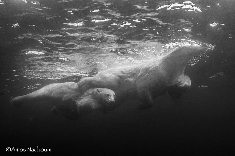 LESS THAN THREE METERS ( 10-FEET) AWAY FROM ME IN THE WATER, THE MOTHER POLAR BEAR PUT HER LEG AROUND HER CUB TO PROTECT IT. IMAGE: ©AMOS NACHOUM PHOTOGRAPHY