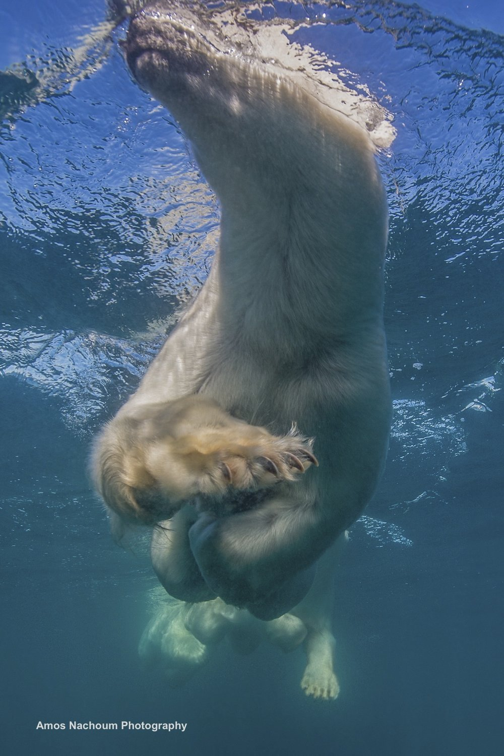 """THE TREMENDOUS PAWS OF THE POLAR BEAR WERE JUST OVER HEAD, CLOSE ENOUGH FOR A """"HANDSHAKE"""". IMAGE: COURTESY OF ©AMOS NACHOUM PHOTOGRAPHY"""