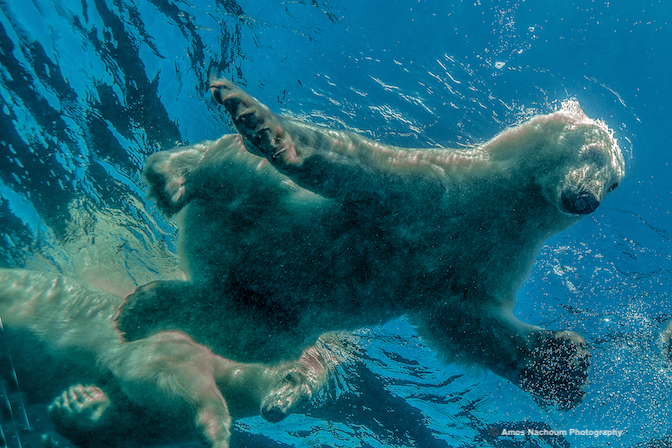 MOTHER BEAR AND CUB KEEP A CLOSE EYE ON ME AS THEY SWIM OVER MY HEAD IN OPEN WATER. IMAGE: ©AMOS NACHOUM PHOTOGRAPHY