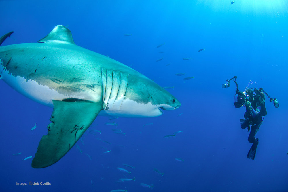 IS WILDLIFE TOURISM WITH THE WORD'S BIGGEST PREDATORS SAFE? RESPECT, UNDERSTANDING AND PREPARATION KEEP BOTH GREAT WHITE SHARK AND AMOS NACHOUM FROM HARM DURING A PORTRAIT SESSION IN OPEN OCEAN. IMAGE: JEB CORILLS FOR ©BIGANIMALS, GLOBAL EXPEDITIONS.