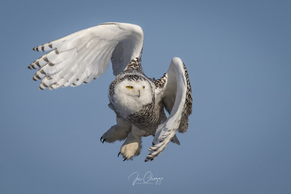 Arctic Angles on the Dunes - How to Photograph Snowy Owls