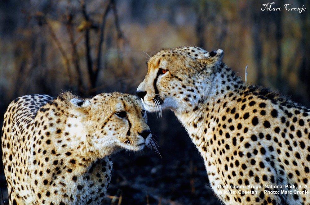 Cheetah_Kruger_Park_Marc_Cronje.jpg