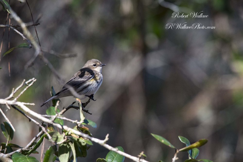 RAINBOW SPRINGS STATE PARK IS ON THE GREAT FLORIDA BIRDING AND WILDLIFE TRAIL. THIS FEMALE YELLOW RUMPED WARBLER WINTERS HERE BUT WILL TYPICALLY BREED IN THE US NORTHEAST AND CANADA .  IMAGE: ROBERT WALLACE, RWALLACE PHOTOS.COM