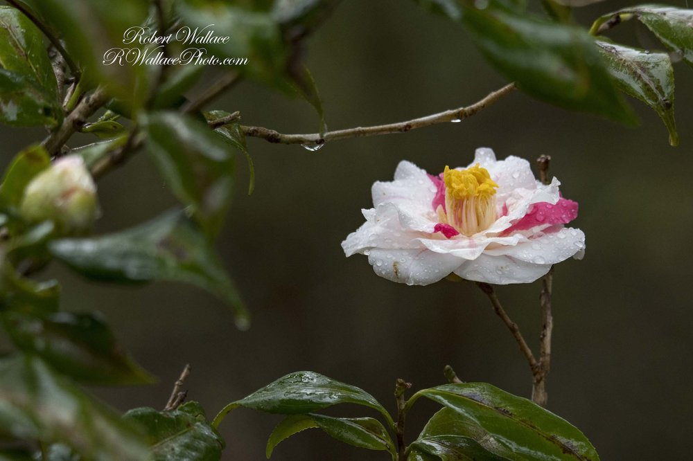 IF YOU LOVE FLOWERS, THEY ARE EVERYWHERE ALONG THE WALKING PATHS AT RAINBOW SPRINGS STATE PARK! A WILD ROSE DOES NOT SEEM TO MIND THE DAY'S RAIN. IMAGE: ROBERT WALLACE, RWALLACE PHOTO.COM