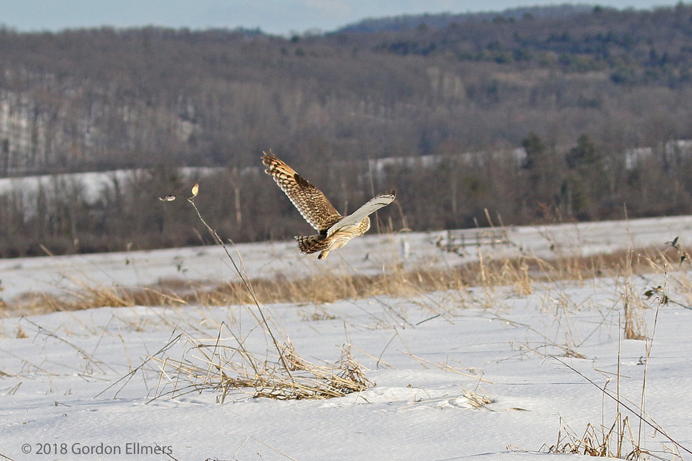 THE SHORT-EARED OWL HAS A CHANCE TO THRIVE THANKS TO LAND PROTECTED THROUGH THE WORK OF THE FRIENDS OF THE WASHINGTON COUNTY GRASSLANDS IBA. IMAGE: ©GORDON ELLMERS