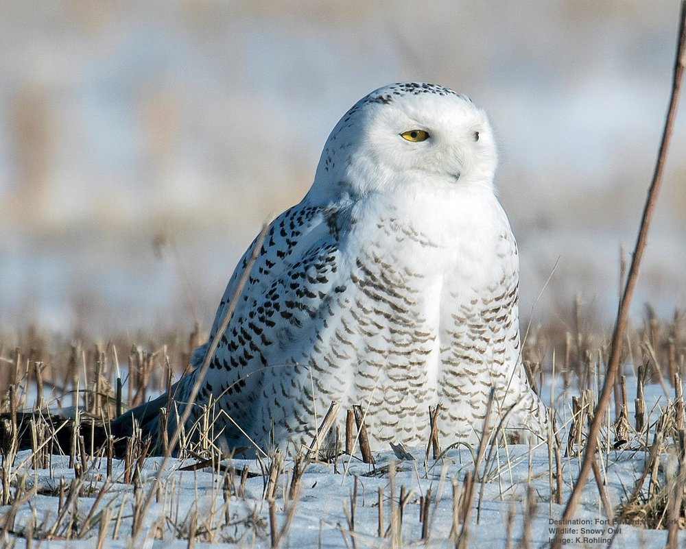 Are You Willing to Kill for a Better Snowy Owl Photo?