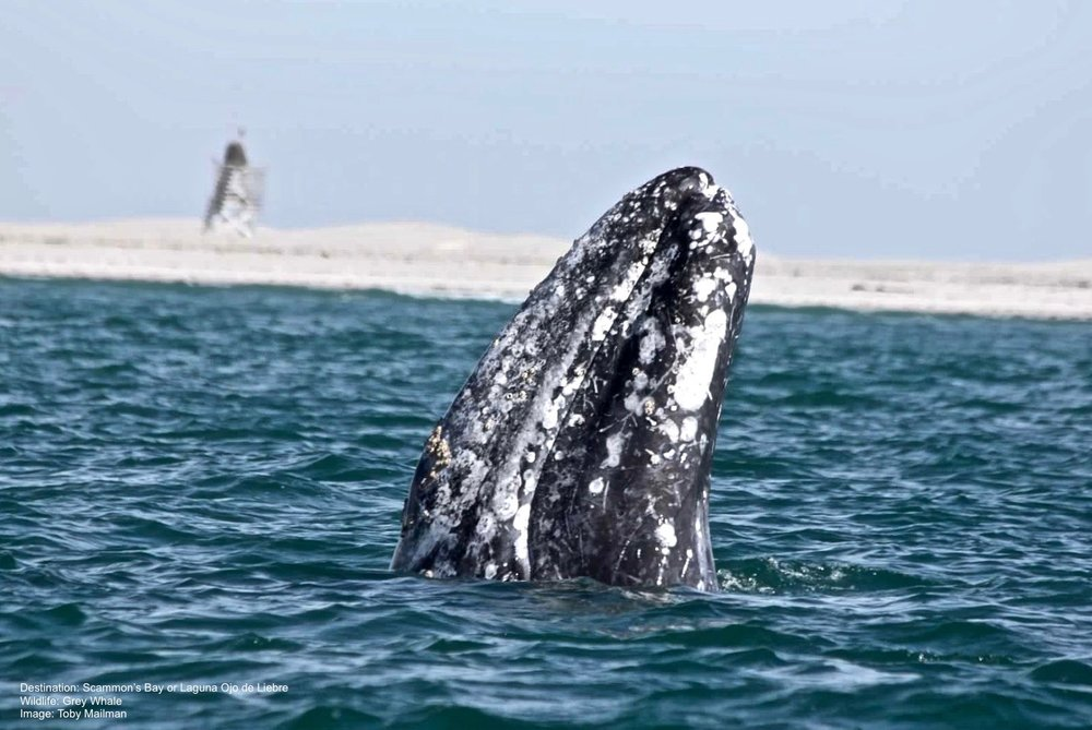 Grey-Whale-ScammonsBay-Baja-California-Mexico.jpg