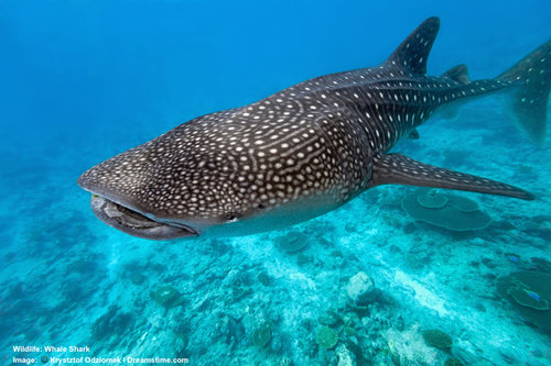 THE PLANET'S BIGGEST SHARK IS THE SIZE OF A DOUBLE DECKER BUS! WHALE SHARK, A MYSTERIOUS, SURFACE EATING, DEEP DIVING, MIGRATING, GENTLE SEA GIANT. IMAGE ©KRZYSZTOF ODZIOMEK ⎮DREAMSTIME.COM