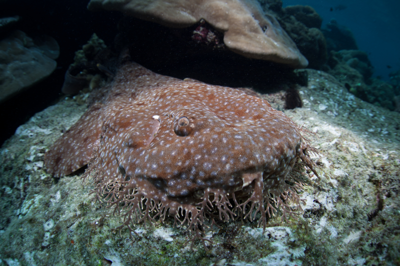 TASSELED WOBBEGONG SHARK IS ANOTHER WHALE SHARK RELATIVE. IMAGE: ©ETHANDANIELS⎮ DREAMSTIME.COM