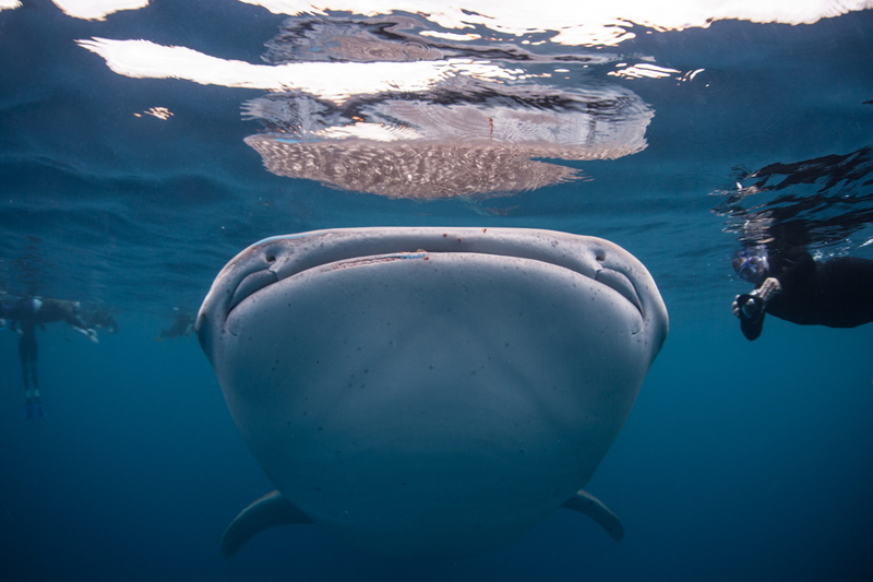 THE WATERS OFF BELIZE. A WHALE SHARK'S MOUTH CAN BE 5 FEET WIDE (1.3M) BUT ITS THROAT IS ONLY AN INCH (2.5CM) IMAGE: ETHAN A. DANIELS ⎮DREAMSTIME.COM