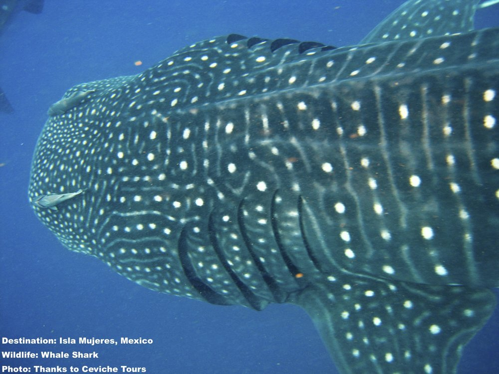 WHALE SHARKS SKIM THE WATER TO FEED ON PLANKTON, KRILL AND FISH SPAWN, THEN FILTER IT OUR THROUGH THEIR GILLS. NOTE THE PATTERN OF SPOTS AND LINES - THEY ARE UNIQUE TO EVERY INDIVIDUAL AND USED TO IDENTIFY THEM. IMAGE: THANKS TO CEVICHE TOURS, ISLA MUJERSES, MEXICO.