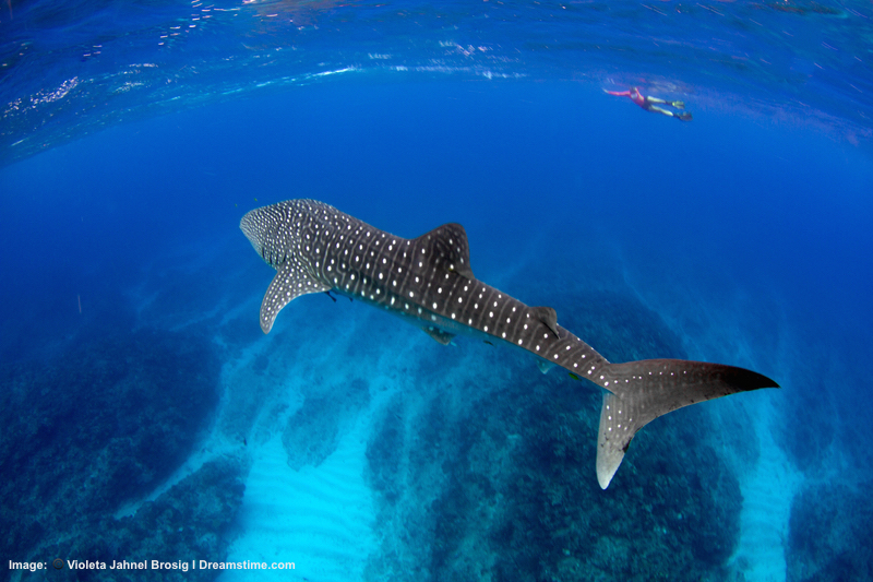 WHALE SHARK CRUISING NINGALOO REEF OFF AUSTRALIA'S NORTH-WEST COAST. THE BIGGEST SHARK OF ALL EATS KRILL. THEIR CONSTANT MIGRATION IN SEARCH OF PLANKTON AND FISH SPAWN MEANS YOU MAY MEET UP WITH THIS GUY AGAIN, LIKE A FAVORITE MARINE TRAVEL BUDDY, IN WATERS OFF AFRICA OR THE PHILIPPINES OR .. .©BLUEMEDIAEXMOUTH ⎮DREAMSTIME.COM