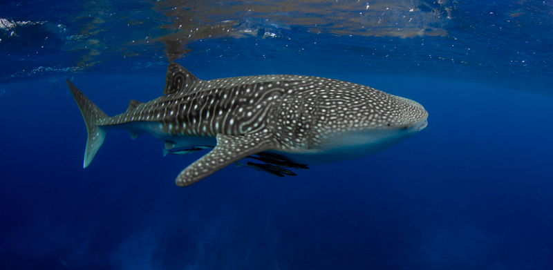 NINGALOO COAST IN WESTERN AUSTRALIA IS A UNESCO HERITAGE SITE FOR ITS BIODIVERSITY BOTH ON LAND AND IN THE SEA. IT IS ALSO THE HOME OF ECOCEAN, DEDICATED TO RESEARCHING WHALE SHARKS. IMAGE:  ©BLUEMEDIAEXMOUTH⎮DREAMSTIME.COM
