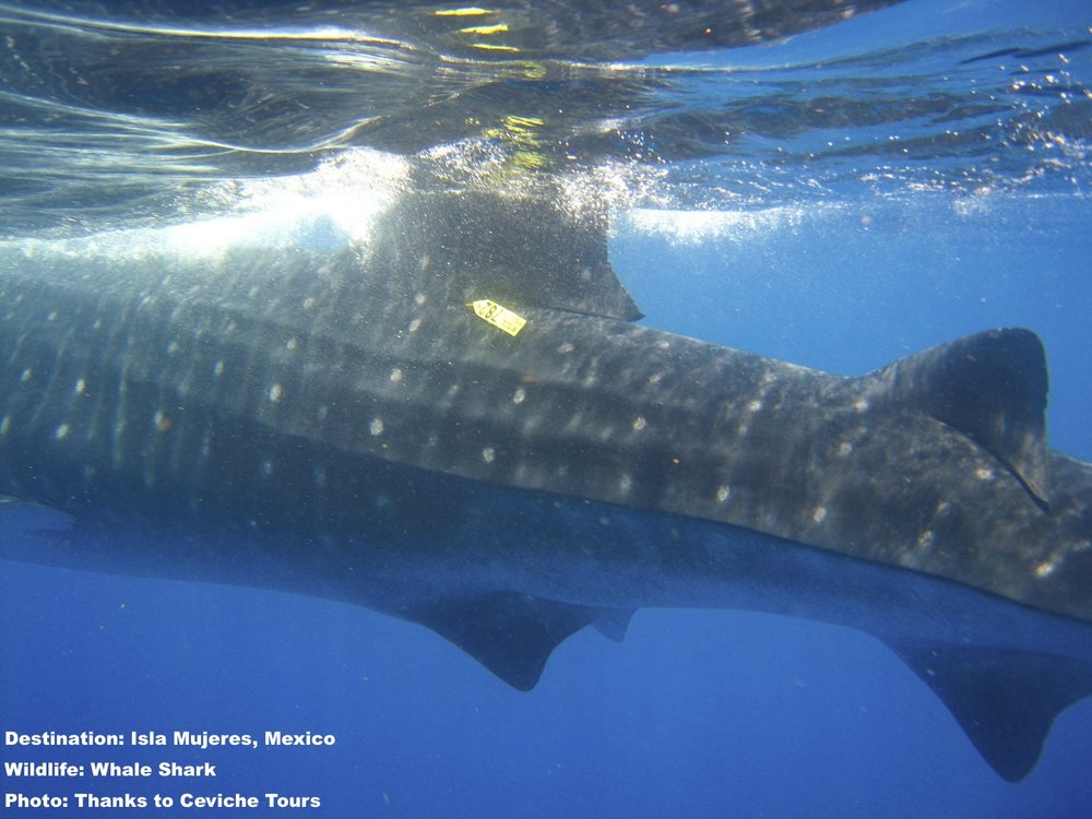STUDIES ON WHALE SHARK MIGRATION USE BOTH TAGS AND PHOTOS TO IDENTIFY INDIVIDUALS IMAGE: THANKS TO JOHN VATER, CEVICHE TOURS, ISLA MUJERES, MEXICO.