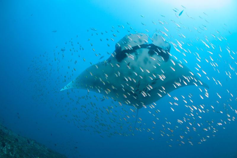 """MANTA RAYS AND WHALE SHARKS ARE COMMON IN MOZAMBIQUE'S WATERS. REEF FISH IN THE CORALS FEED ON THEIR SKIN IMPURITIES, CREATING A """"CLEANING STATION"""" FOR THEM.VISIT THE MARINE MEGAFAUNA FOUNDATION WHILE YOU ARE THERE.IMAGE: ©FIONA AYERST⎮DERAMSTIME.COM"""