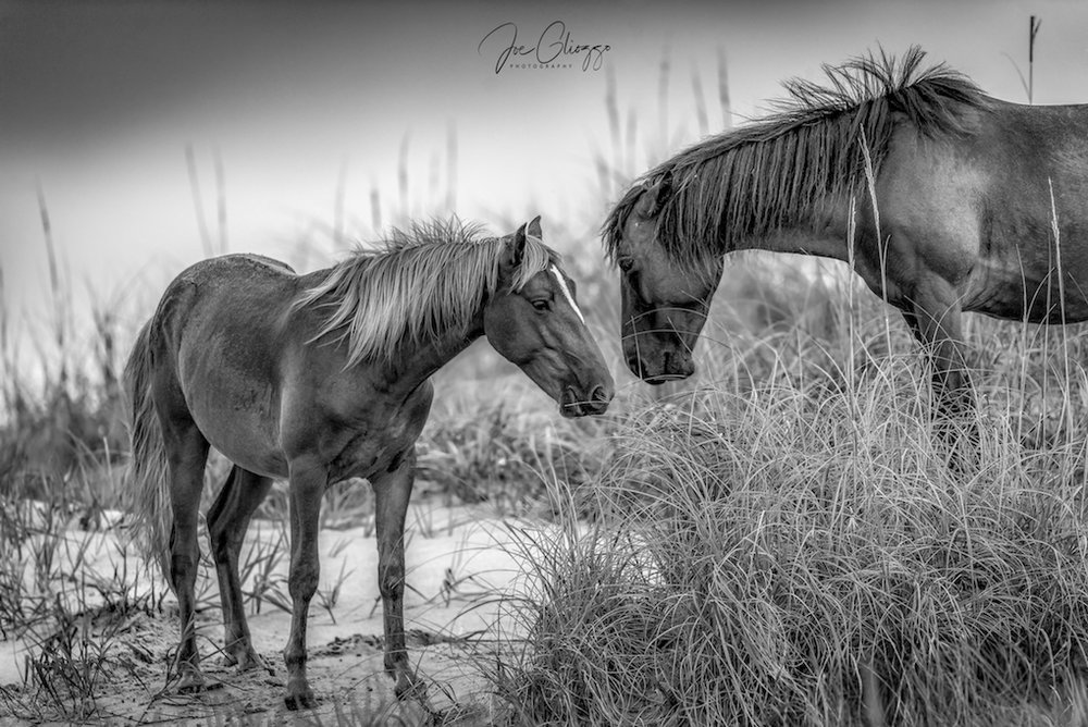 THE WILD HORSES OF NORTH CAROLINA'S OUTER BANKS ARE THOUGHT TO BE DECENDED FROM HORSES ABANDONED BY SPANISH EXPLORERS IN THE 1500'S IMAGE: JOE GLIOZZO