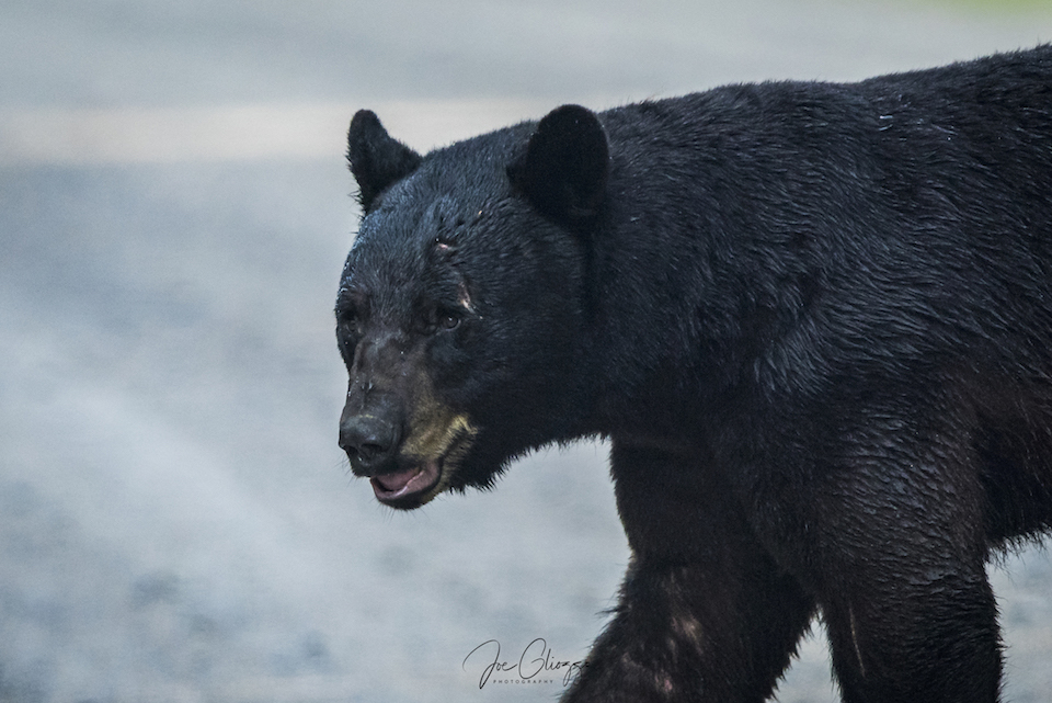 "I DUBBED THE HUGE BLACK BEAR ""SACREFACE"" FOR OBVIOUS REASONS. IMAGE: joe gliozzo"