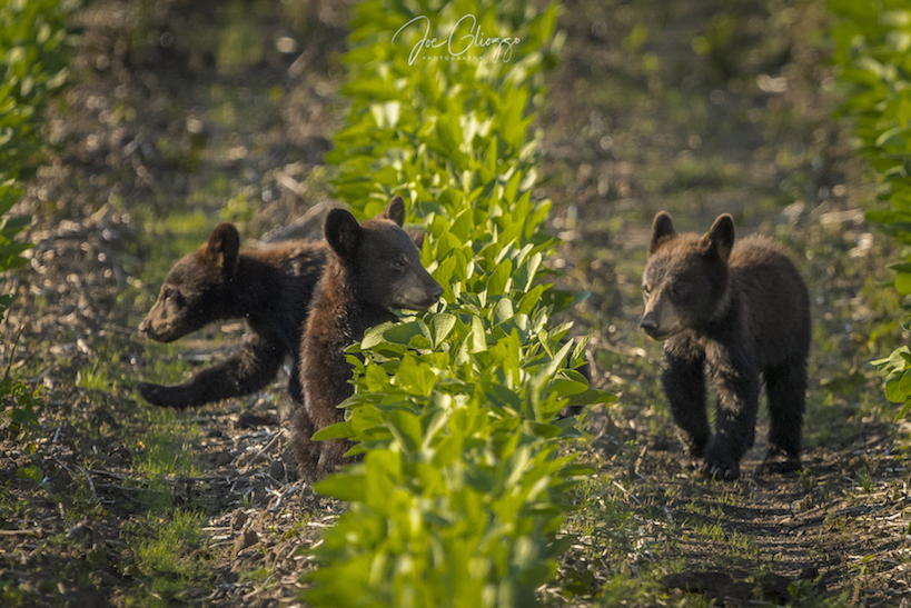 WE WATCHED THESE BLACK BEAR CUBS IN THE SOYBEAN FIELDS IN ALLIGATOR NATIONAL WILDLIFE REFUGE FOR AN INCREDIBLE 30 MINUTES. IMAGE: JOE GLIOZZO