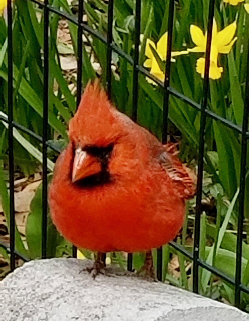 Cardinal-CentralPark-Denise-Reader-Photography.jpg