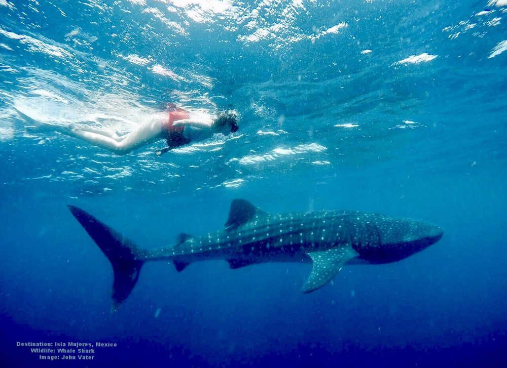 DURING THE YEAR JUVENILE WHALE SHARKS, LIKE THIS ONE COME TO FEED. ONCE A YEAR THE BIG ADULTS ARRIVE AND FESTIVAL TIME! IMAGE: JOHN VATER