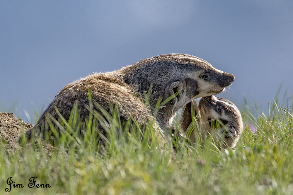 BADGER LOVE. A MOM BADGER HAS A QUIET MOMENT WITH ONE OF THIS SPRING'S LITTER. YELLOWSTONE NATIONAL PARK, WYOMING  IMAGE: JIM FENNESSY