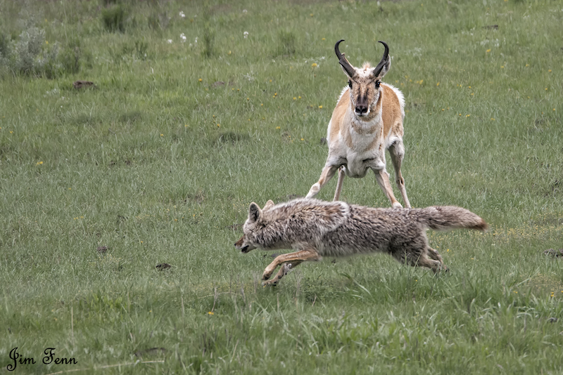 xCoyote vs,pronghorn vs DSC6917.jpg