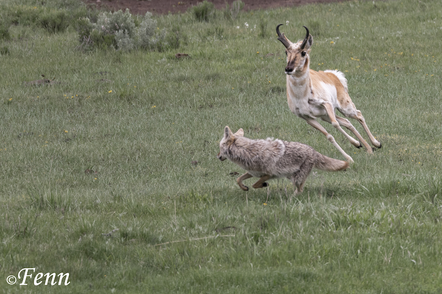 9D. coyote v pronghorn crop web-6919.jpg