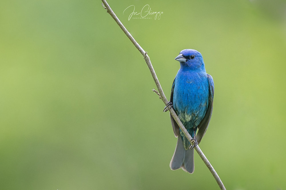 OUR INTEL TOLD US THAT WE WOULD FIND INDIGO BUNTINGS IN STERLING FOREST, WE DID AND MORE. IMAGE: JOE GLIOZZO