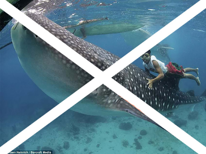 BAD IDEA! RIDING & TOUCHING, WHALE SHARKS ENDANGERS BOTH THE ANIMAL AND YOU. IMAGE: THANKS TO SIERRA MADRE DIVERS