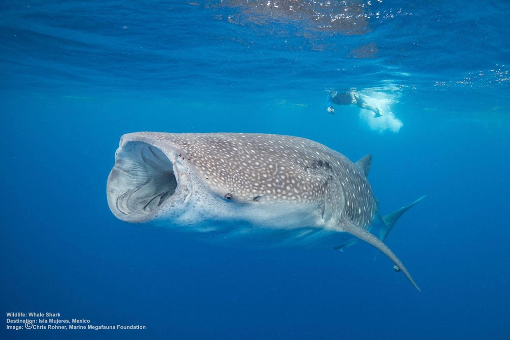 ISLA MUJERES, MEXICO IS A GREAT DESTINATION FOR WHALE SHARK ENCOUNTERS, THEY COME TO FEED ON THE SPAWN BLOOMS. IMAGE: CHRIS ROHNER & MMF
