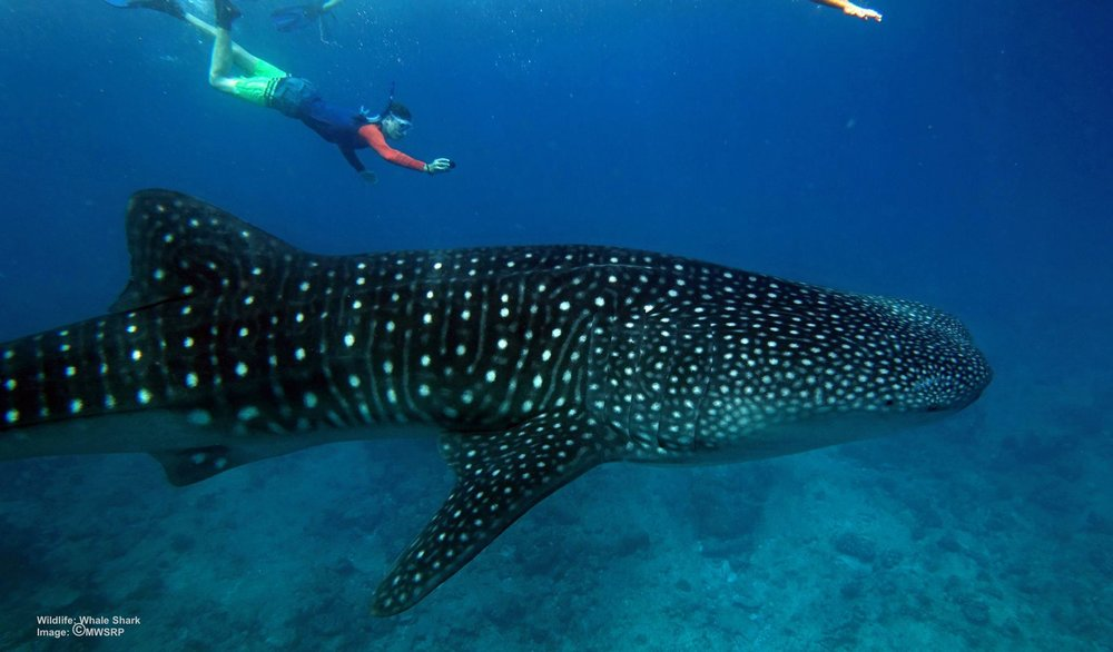 TAMLIN, A MWSRP VOLUNTEER TAKES AN IMAGE THAT WILL HELP IDENTIFY AND TRACK THE WHALE SHARK. IMAGE: MALDIVES WHALE SHARK RESEARCH PROGRAMME