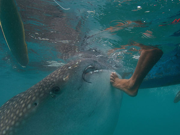 DON'T DO IT! TOUCHING IS A BAD FOR YOU AND BAD FOR THE WHALE SHARK AND NEVER RESPONSIBLE: IMAGE SIERRA MADRE DIVERS