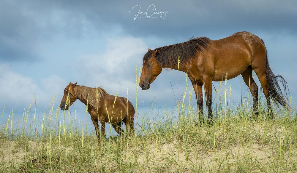 Wild-Horses-CarovaBeach-NorthCarolina-Wildlife-Photography-JoeGliozzo1064.jpg