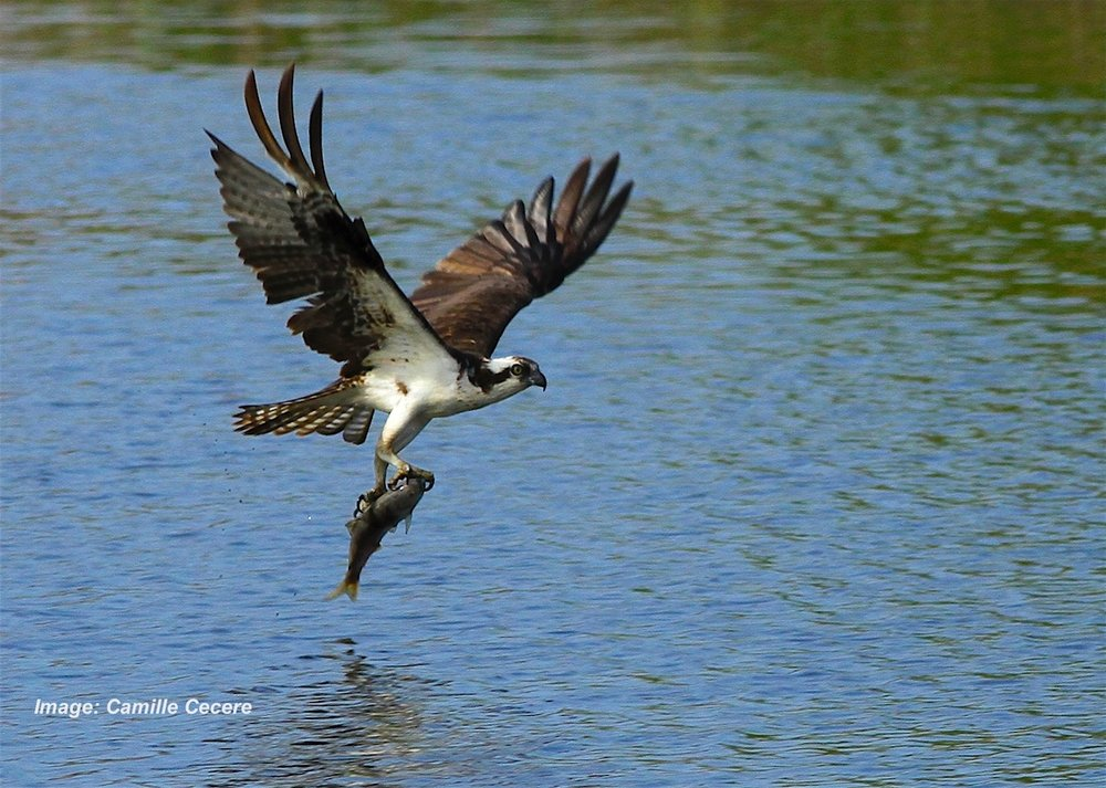 xCamille Cecere ospreybest1.jpg