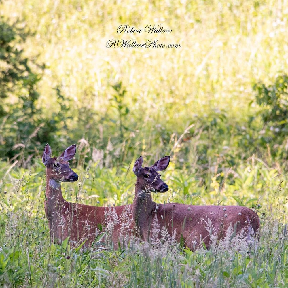 THE BEST TIME TO SEE AND PHOTOGRAPH WHITE TAILED DEER AND OTHER WILDLIFE IS FIRST THING IN THE MORNING AND AT DUSK. IMAGE: ROBERT WALLACE
