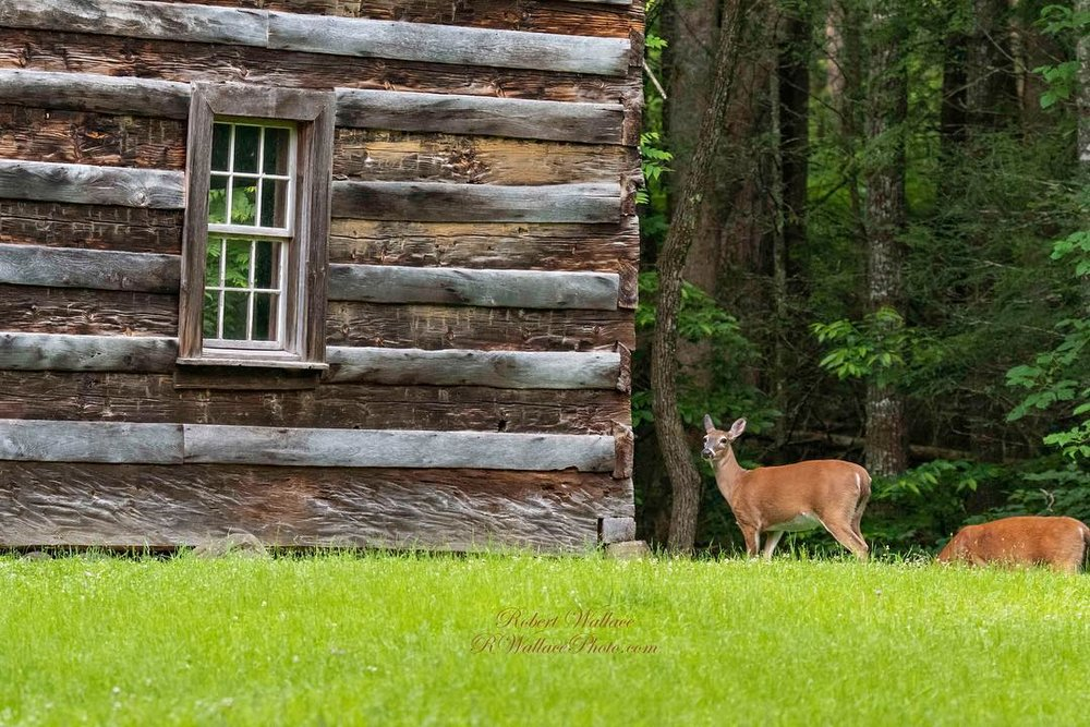 WATCHING THESE DEER BY THE OLD CARTER SHieLD'S CABIN IN CADES COVE WAS ONE OF THE DAY'S FAVORITE MOMENTS. IMAGE: ROBERT WALLACE