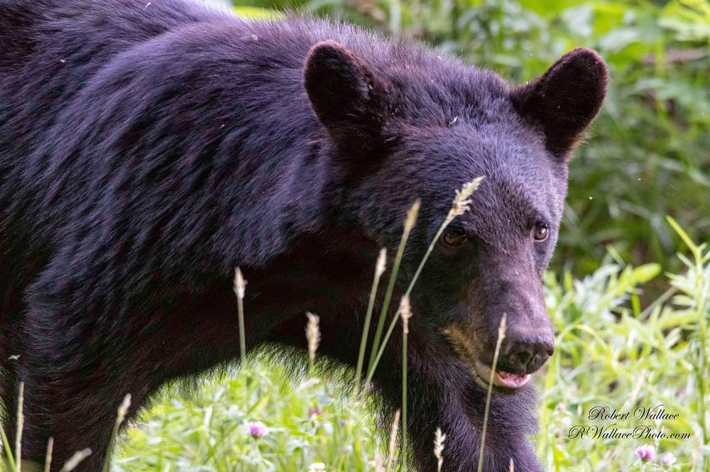 I SEE HIM. HE SEES ME. WE'RE ALL GOOD!  BALCK BEARS ARE NOT NECESSARILY DANGEROUS IF YOU KNOW A FEW SAFETY RULES. IMAGE: ©ROBERT WALLCE