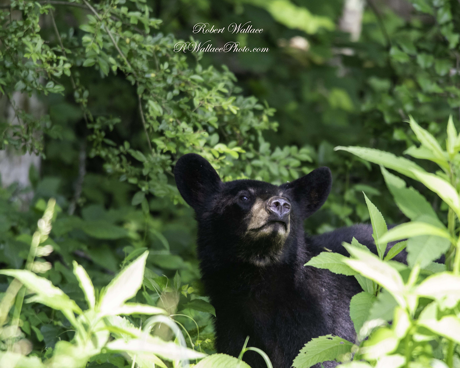 YOUNG BLACK BEAR SNIFFING THE AIR. BLACK BEAR HAVE POOR EYE SIGHT BUT GOOD HEARING AND SENSE OF SMELL. IMAGE: ROBERT WALLACE