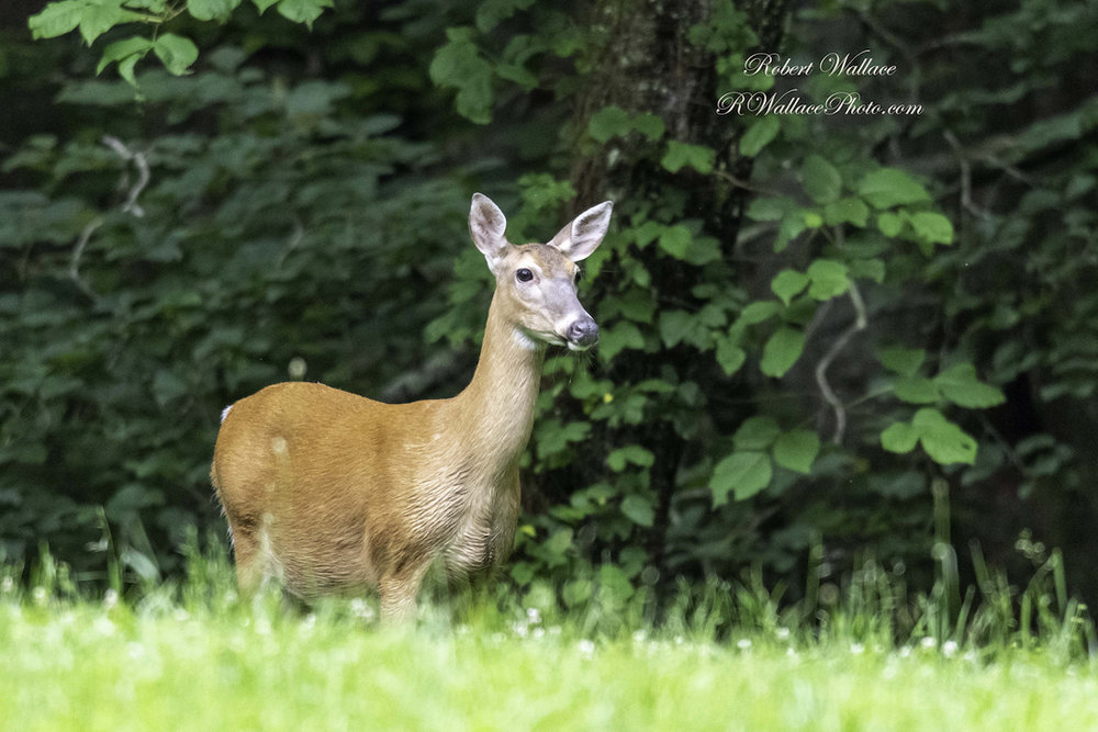 A WHITE TAIL DOE LOOKS OUT OVER THE VALLEY AT CADE'S COVE IN THE GREAT SMOKY NATIONAL PARK, IMAGE: ©ROBERT WALLACE