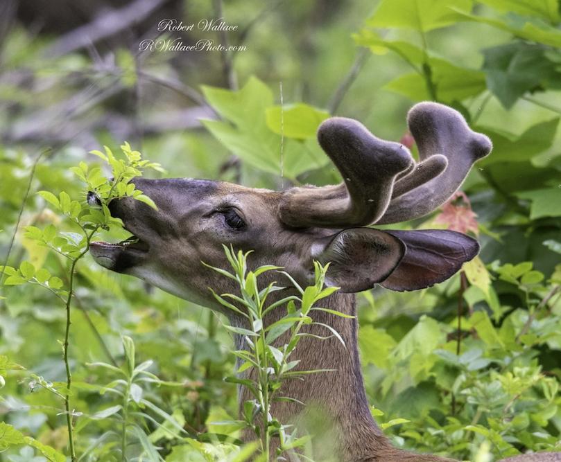 ManitobanElk-GreatSmokyNationalPark-WildlifePhotography-RobertWallace.jpg