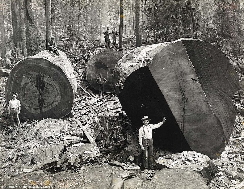 TAKING DOWN CENTURIES OLD REDWOOD TREES IN CALIFORNIA DESTROYED ENTIRE ECOSYSTEMS EFFECTING BOTH LAND AND OCEAN. THE SALMON INDUSTRY WAS PERMANENTLY DAMAGED AS SALMON NEED THE STREAMS IN THE OLD GROWTH FORESTS TO SPAWN. IMAGE: HUMBOLDT UNIVERSITY LIBRARY