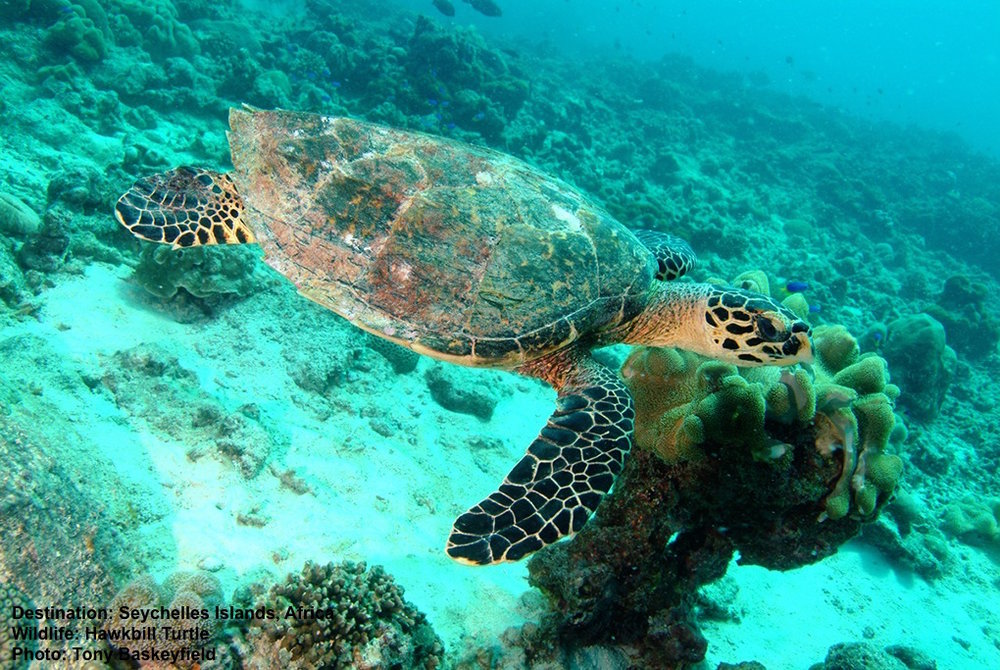SEA TURTLES, LIKE THIS ENDANGERED HAWKSBILL TURTLE, ARE AT THE CENTER OF MANY CREATION MYTHS. IMAGE THANKS TONY BASKEYFIELD AND THE SEYCHELLES TOURISM BUREAU