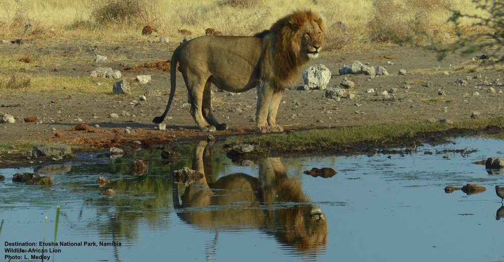 WE WATCHED THS LION FOR AN HOUR OR SO AS HE LOOKED OVER HIS PRIDE OF ABOUT 18 FEMALES AND CUBS. WITH ALL ODDS AGAINST HIM HE IS STILL THE KING. WITH HELP FROM RESPONSIBLE TOURISM HIS RANGE WILL STAY SAFE, HIS CUBS WILL GROW. ETOSHA NATIONAL PARK, NAMIBIA. IMAGE: LES MEDLEY.