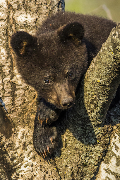 BLACK BEAR CUB IN A TREE, WATCHING. IMAGE: ©SCOTT DERE