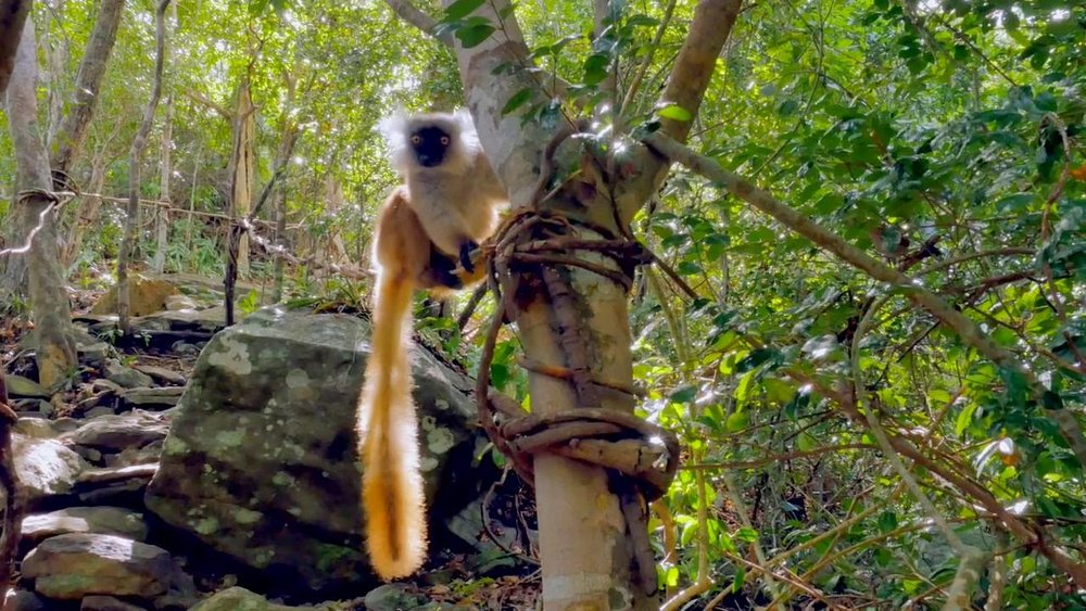 IUCN:LEMURS ARE THE WORLD'S MOST ENDANGERED ANIMAL GROUP.  IMAGE: OFFICE REGIONAL DU TOURISME DE NOSY BE FACEBOOK PAGE