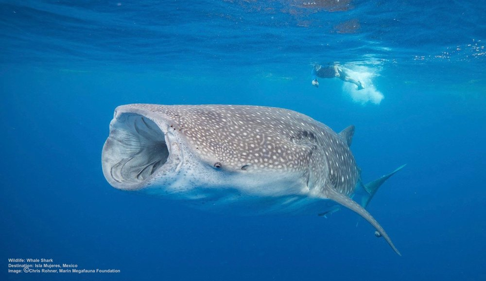 World's Best Places to Swim with Whale Sharks