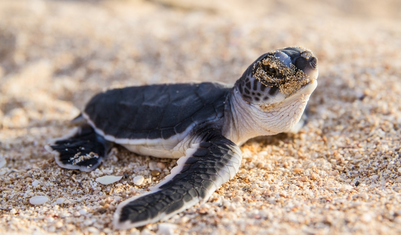 BABY GREEN SEA TURTLE HATCHLING. NINGALOO BEACH, AUSTRALIA. IMAGE:  ©BLUEMEDIAEXMOUTH⎮DREAMSTIME.COM
